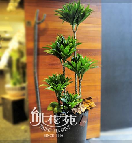 阿波羅千年木盆景(小)